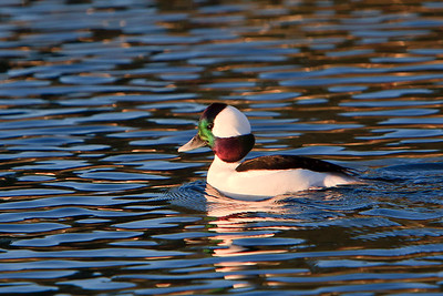 Bufflehead - Male
