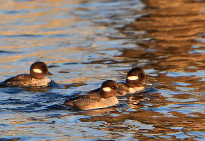 Buffleheads - Female