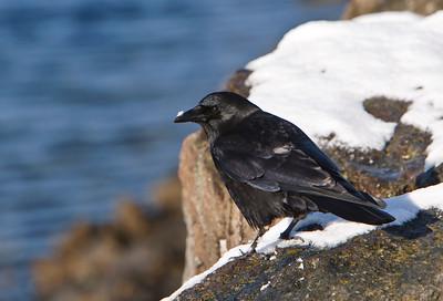 Crow with snow on its beak