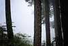 Verlot, Independence Lake - Tall tree trunks in the fog