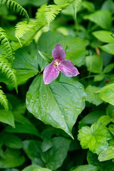 Verlot, Perry Creek - Close up of pink flower