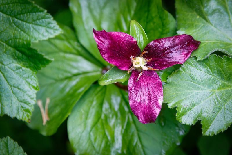 Verlot, Perry Creek - Close up of purple flower