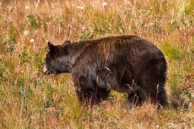 On my way back down from hiking, this guy crossed between me and my destination.  At one point he was about 50 yards from me, which in my opinion is way too close.  If he would have only showed up earlier in the day with better lighting, and maybe gave me a head shot or two, I would have been ecstatic.  Of course watching his butt as he walked away from me was way less nerve racking than when he was walking right toward me!  Thank goodness I keep my UDAP handy!!