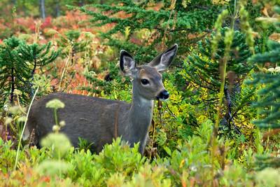 Black Tail Deer at Paradise.