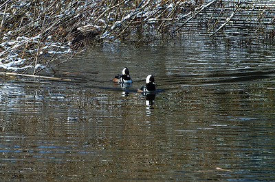 Hooded Mergansers on a frozen Muir Pond