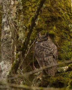 Great Horned Owl parent.  Not in a very friendly photographic location!