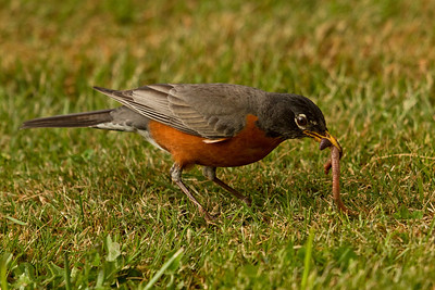 I found this guy mutilating a worm on the way back to the trail.  Happy robin babies awaited their meal!