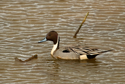 Northern Pintail, sure wish there would have been more color other than the lovely mud brown tones!!
