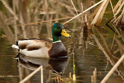 The next 6 images are from March 21st, 2012.  Mallard male, love these guys!