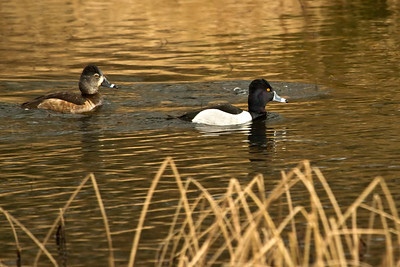 Ring Neck Ducks, uncommon to the area, but I have seen them there on numerous occasions.  Gorgeous ducks for sure!