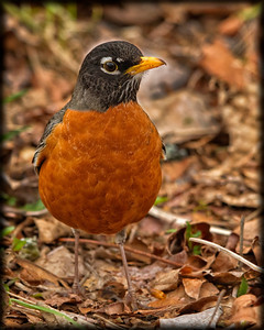 Mr. Robin says spring is here, yet it doesn't feel like it in the Great North West!  Sleeting outside as we speak!