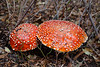 Whatcom, Artist Point - Two large red mushrooms with white spots along the trail