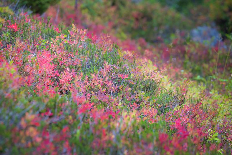 Rainy Pass, Cutthroat Pass - Bouquet of red trailside huckleberry bushes
