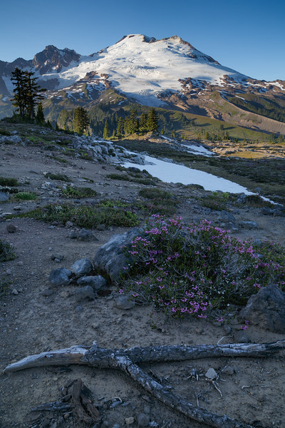 Whatcom, Park Butte - Mt. Baker just before sunset with purple flowers in the foreground