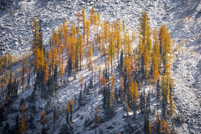 Rainy Pass. Maple Pass - Small larch forest in the snow lit by setting sun