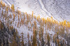 Rainy Pass. Maple Pass - Bright yellow stand of larch beneath a snowy slope