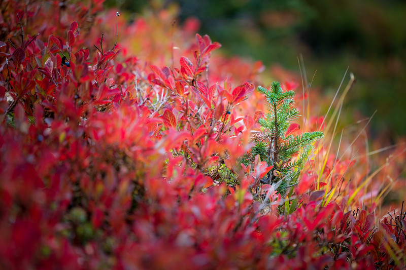 Rainy Pass, Cutthroat Pass - Small green evergreen tree in sea of red huckleberry bushes