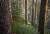 North Cascades, Cascade Pass - Golden hour sun lighting side of trees with moss