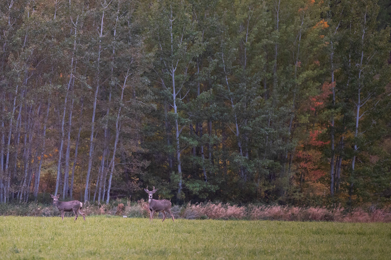 Methow, Winthrop - Two deer on a field at sunset