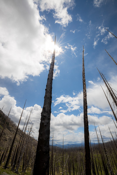 Pasayten, Horseshoe Basin - Looking up at burned tree trunks with sun star and meadow