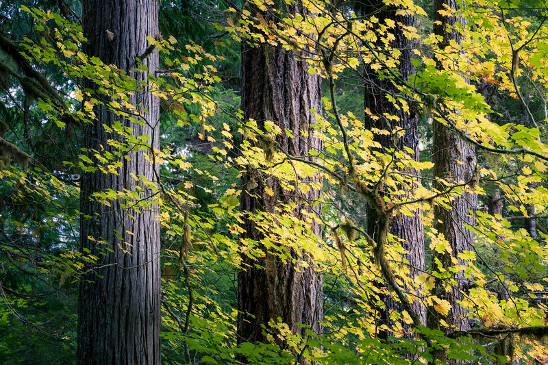 North Cascades, Thunder Creek - Four tall trees with early fall foliage in front