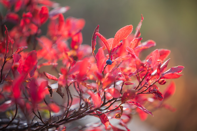 Rainy Pass, Cutthroat Pass - Lone huckleberry on red berry bush