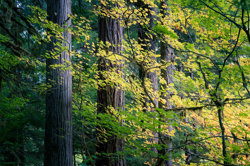North Cascades, Thunder Creek - Four tall trees with early fall foliage in front, wider view