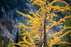 Rainy Pass, Cutthroat Pass - Bright yellow larch tree with green tips