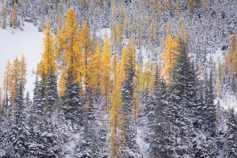 Rainy Pass. Maple Pass - Brightly colored stand of larch lit by rising sun in a snowy forest