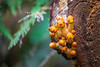 North Cascades, Thunder Creek - Small yellow mushrooms on the side of a log