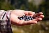 Rainy Pass, Maple Pass - Woman holding a small batch of blueberries picked from the trail