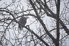 Whatcom, Mosquito Lake Bridge - Eagle in tree from below