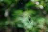 Whatcom, Park Butte - Close up of spider in web with green background