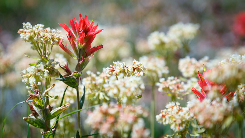 Methow, Tiffany - Red Indian Paintbrush and white flowers trailside