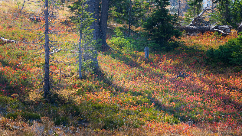 Harts Pass, Windy Pass - Tree shadows on colorful forest floor