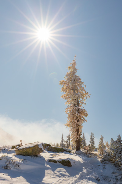 Rainy Pass. Maple Pass - Tall snow-covered larch tree next to large sun star