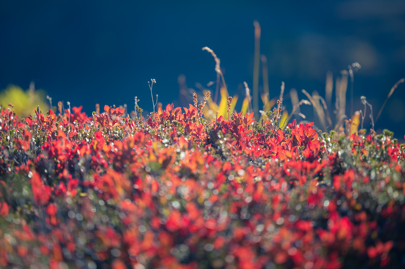 Whatcom, Yellow Aster Butte - Close up of backlit red huckleberry bushes