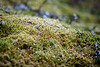 North Cascades, Ross Lake - Dew on moss