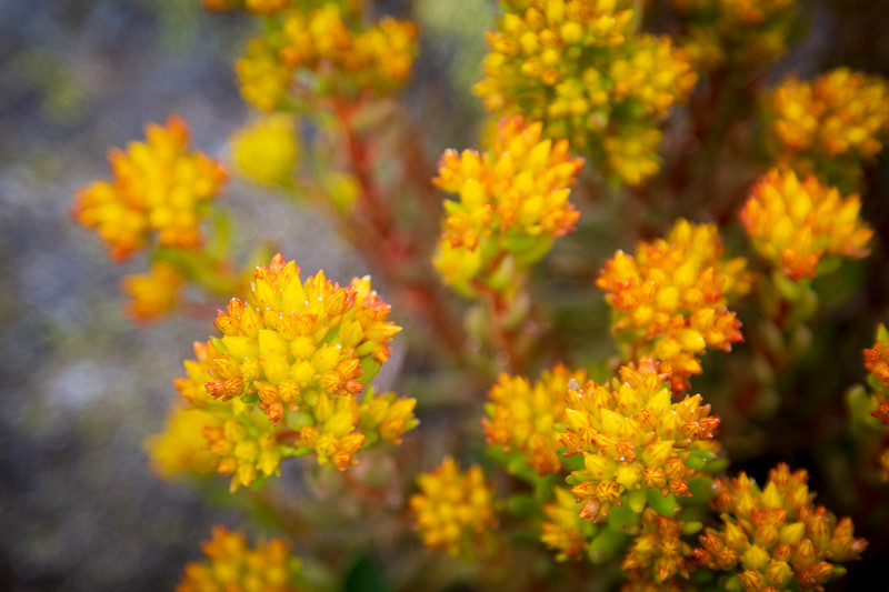 Methow, Tiffany Mountain - Close up of yellow flowers trailside