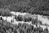 Harts Pass, Tatie Peak - Cluster of trees in a meadow, black and white