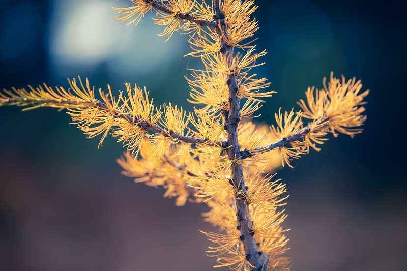 Harts Pass, Windy Pass - Tiny yellow larch tree close up