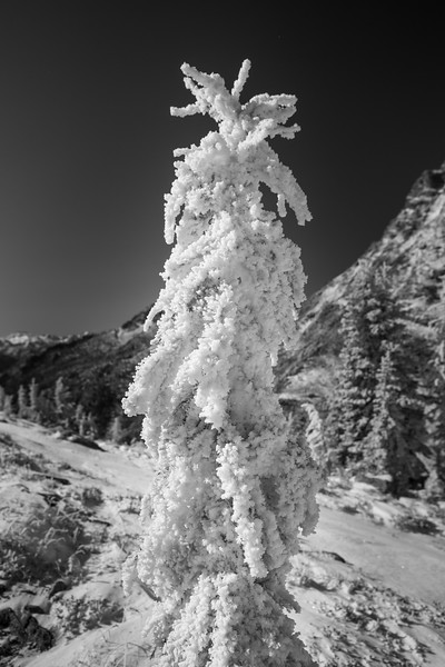 Rainy Pass. Maple Pass - Rime ice coating a small larch tree, black and white