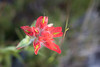 Harts Pass, Windy Pass - Close up of a red Indian Paintbrush