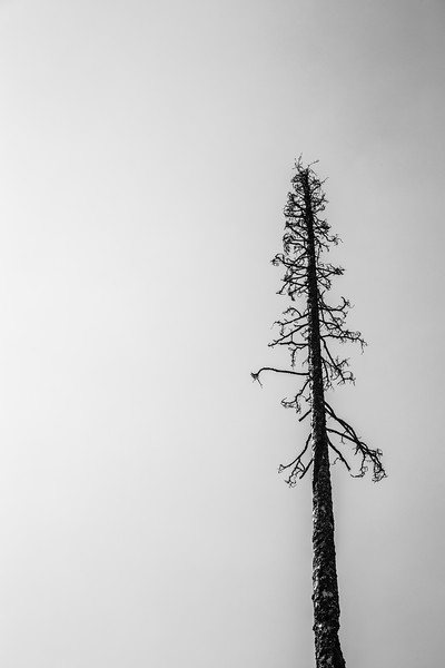 Methow, Tiffany - Dead pine tree solo against clear sky