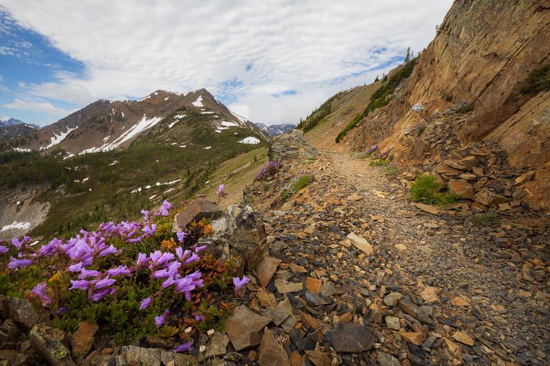 Harts Pass, Tatie Peak - Small purple flowers alongside the trail