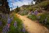 Harts Pass, Tatie Peak - Purple lupine and other windflowers alongside trail
