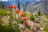 Harts Pass, Tatie Peak - Group of red Indian Paintbrush wildflowers