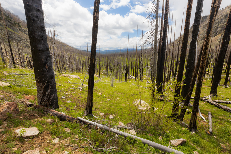 Pasayten, Horseshoe Basin - Trunks of burned trees with meadow