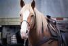 North Cascades, Thunder Creek - Pack horse saddled up ready to ride