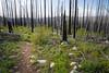 Pasayten, Horseshoe Basin - Purple lupine flowers in burned area